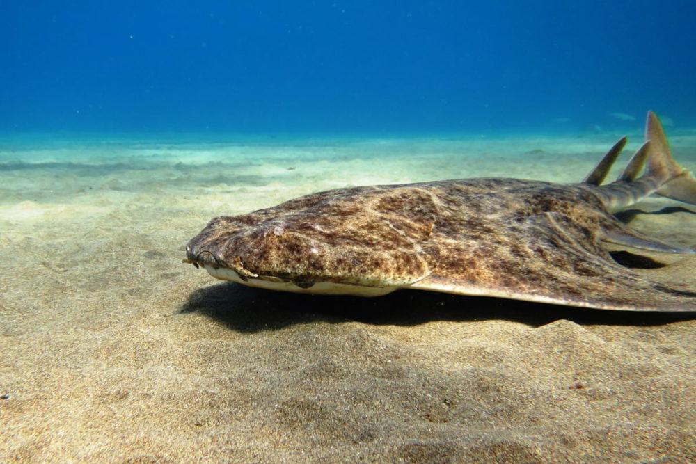 Squalo squatina - Diving a Lanzarote