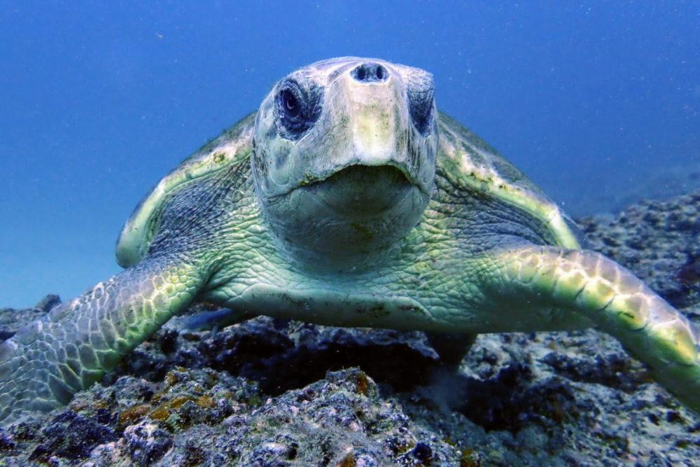 Diving a Lanzarote: avvistamento di una tartaruga marina