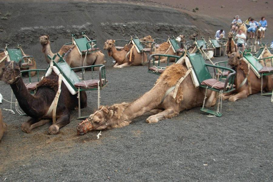 cammelli timanfaya